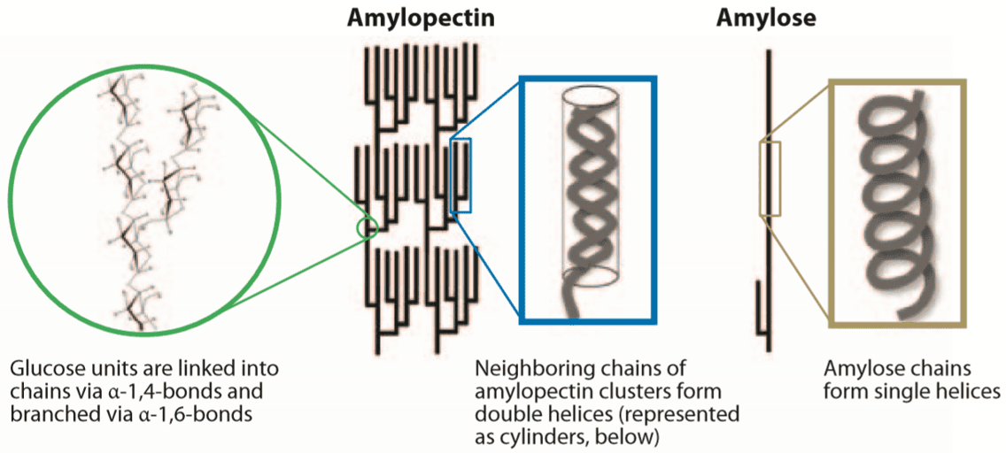 Fig 1. A schematic representation of amylose and amylopectin, and the structures adopted by the constituent chains