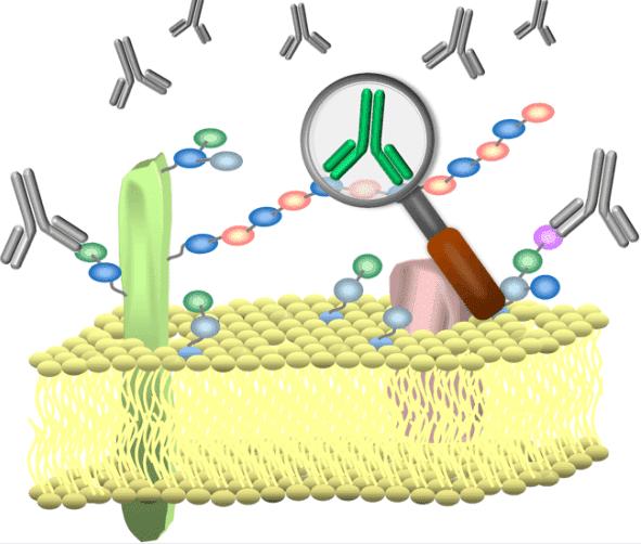 Fig 1. Anti-glycan antibodies