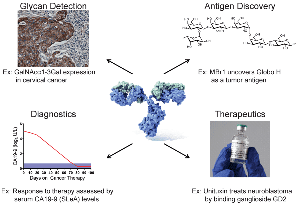 Applications of anti-glycan antibodies in research and clinical therapy