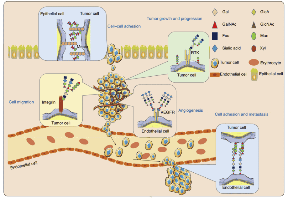 Fig 1. Role of glycans in cancer development and progression (Cai, L.; et al. 2018)