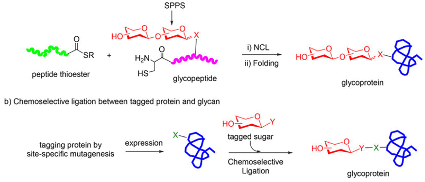 Fig 1. Chemical synthesis of homogeneous glycoproteins