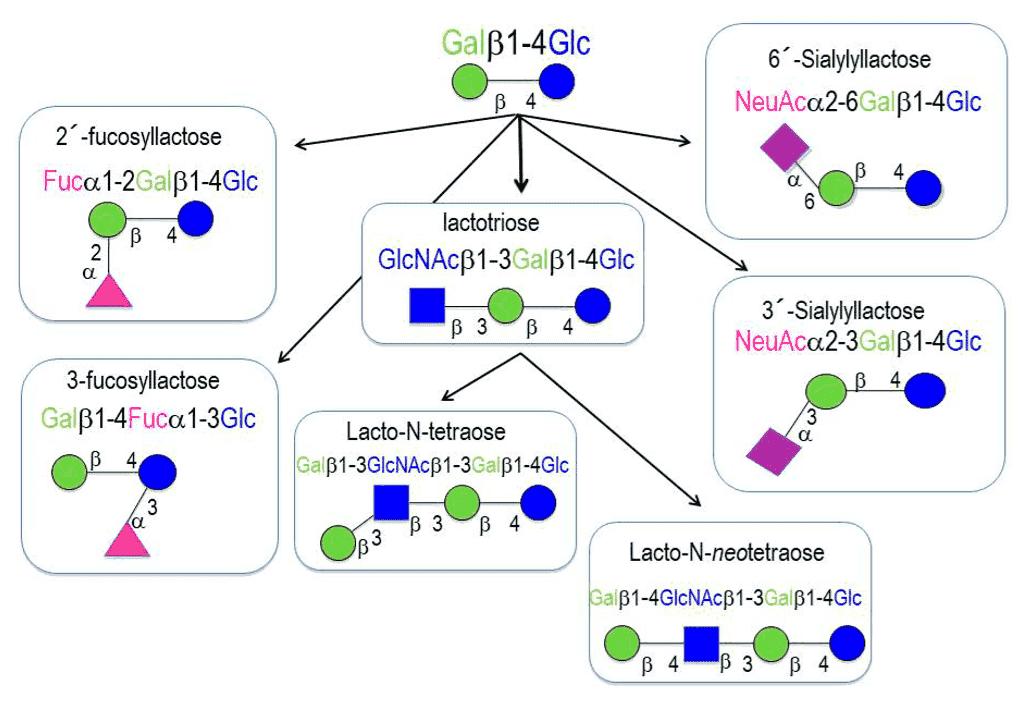 Fig 1. Example: human milk oligosaccharides basic structures
