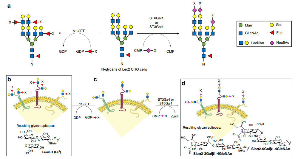 Fig 1. The workflow for constructing cell-based glycan microarrays