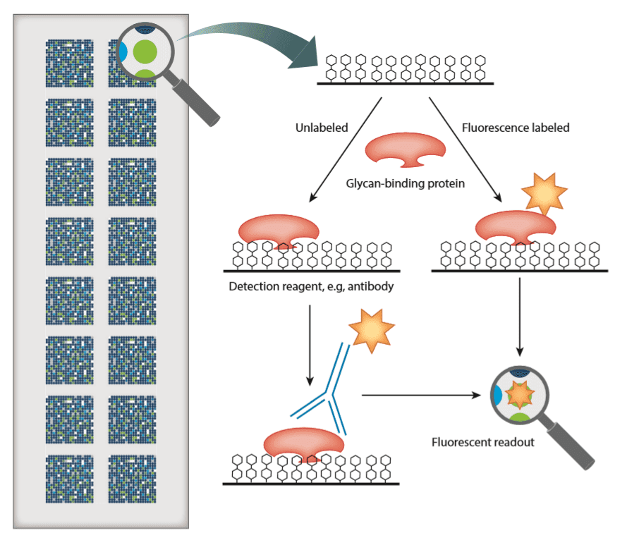 Workflow of printed glycan microarrays with fluorescent readout