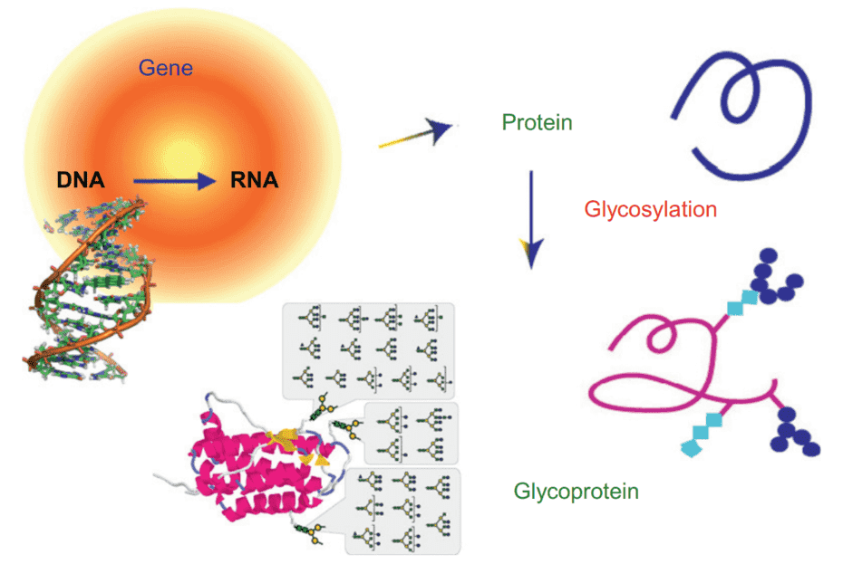 Fig 1. Biosynthetic pathway of glycoproteins