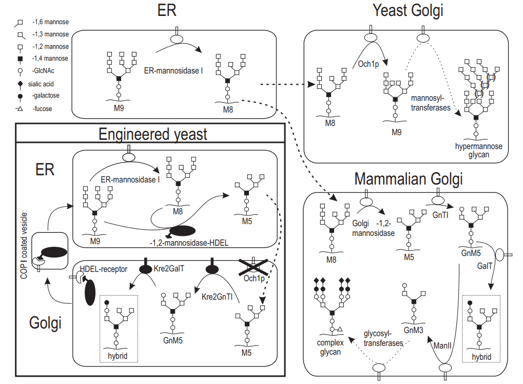 Fig 1. Overview of yeast and mammalian N-linked glycosylation and the strategy used for glyco-engineered P. pastoris expression system