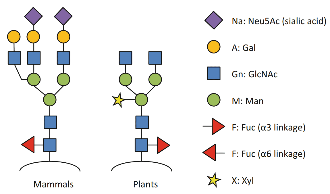 Fig 1. Typical structures of native mammalian and plant glycans