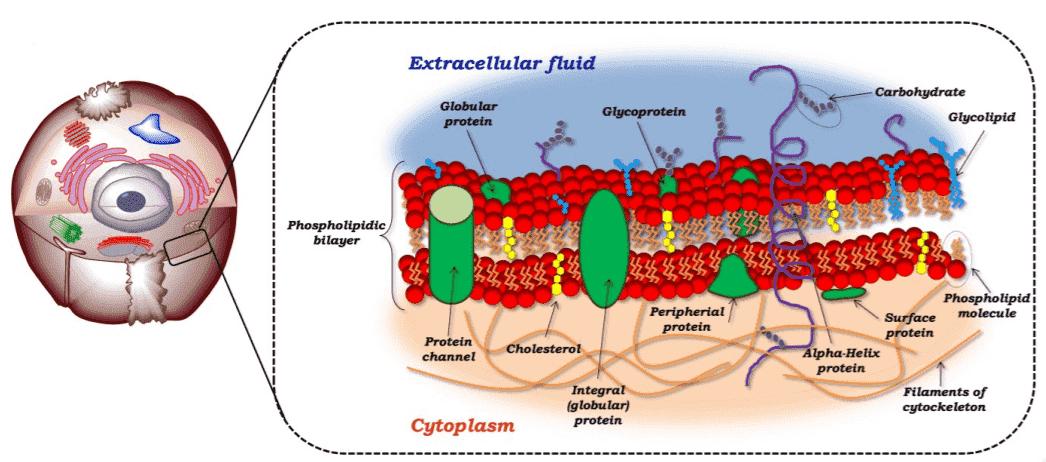 Fig 1. The fluid mosaic model of the plasma membrane