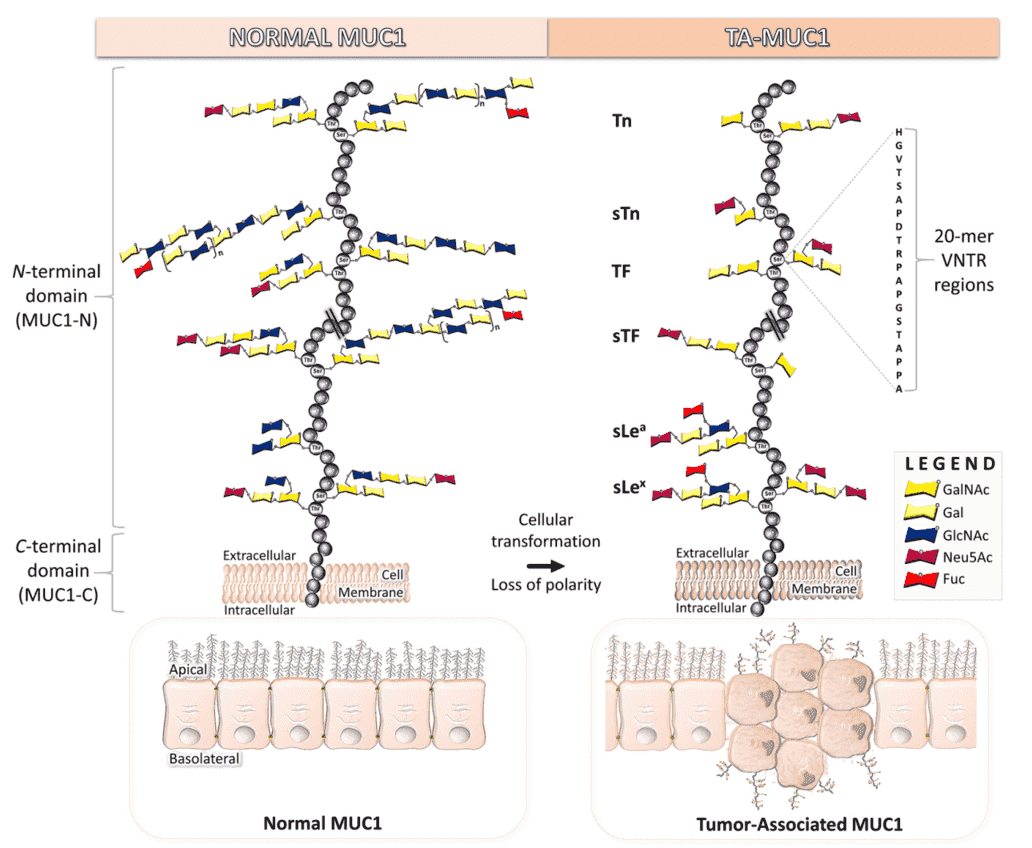 Structural differences between normal and tumor-associated MUC1 (Beckwith, D.M.; Cudic, M. 2020)