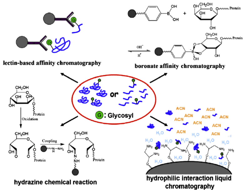 Fig 1. Illustration of the most commonly used strategies for glycoproteins/glycopeptides enrichment