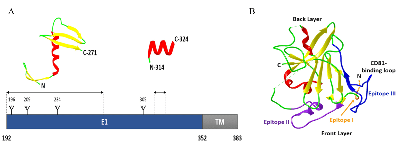 Fig 1. Hepatitis C E1 and E2 glycoprotein structures