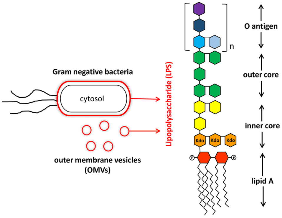 Fig 1. Structure lipopolysaccharide from Gram-negative bacteria
