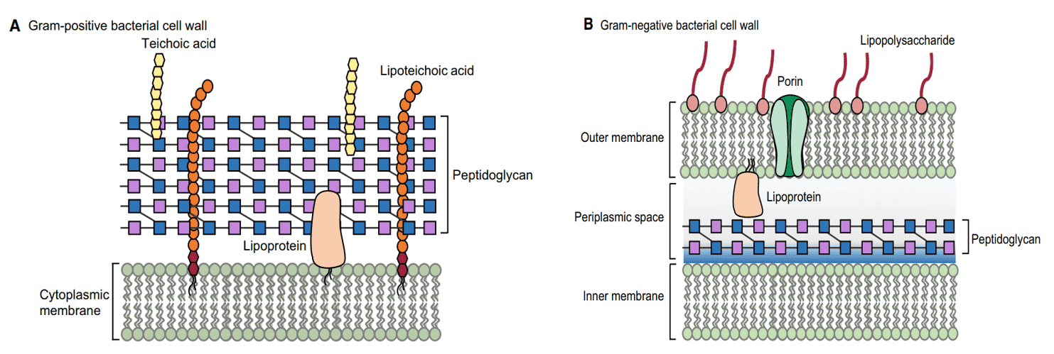 Fig 1. Cell wall structure of Gram-positive and Gram-negative bacteria