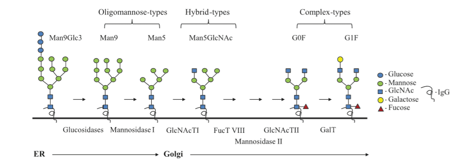 The biosynthesis of N-linked glycans present in the antibody