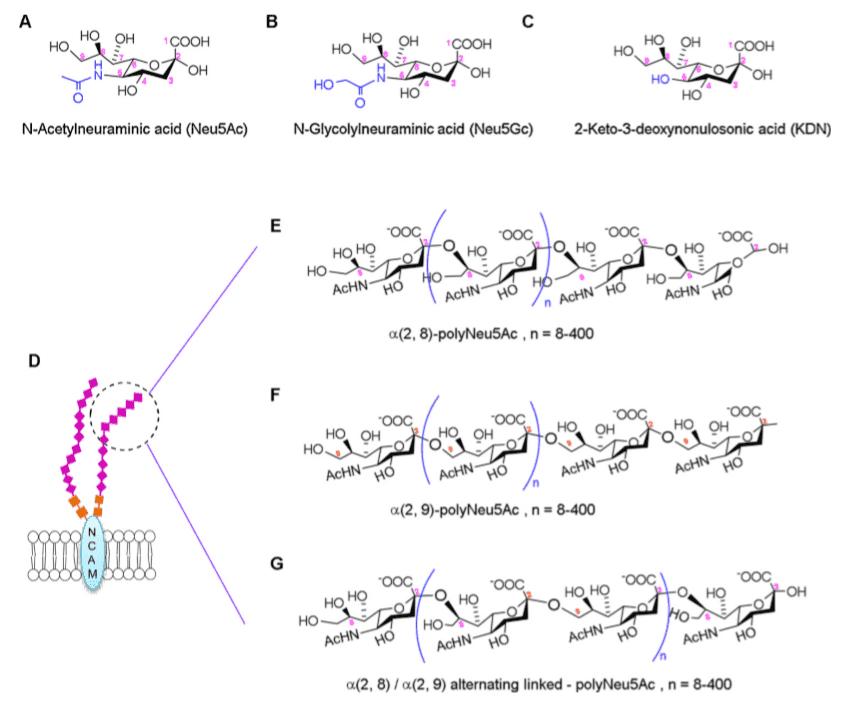 Structure of sialic acid and polysialic acid